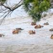 12/16探鳥記録写真(響灘緑地の某池:トモエガモ&オシドリ)