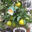 蜜柑とオレンジを交配した日本が生んだ清見オレンジ🍊 可愛い花多肉寄せ植え