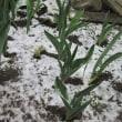 春分ですが、雪が降る - 桜と雪の そろい踏み!