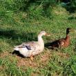 湖の鳥たち②