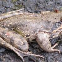 蛙 の はなし ・・・・  ヤマアカガエル 山 に かえる