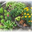 小道花壇がコキア密集地帯に・・・