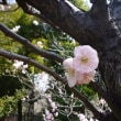 Ume Blossoms are in Bloom☆