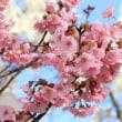☆南から桜の便りが届きました☆