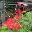 ヒガンバナと電車