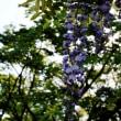藤の花4.22