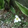 白花の玉すだれ、庭に咲き始めました!