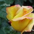 薔薇の園  * 2017 *  Vol.57 * ピース *