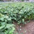 黒豆の枝豆本番