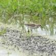 浅く水がたまった田んぼは、トウネンには都合よかった。