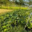 ゴーヤなどの夏野菜に朝日が当たる