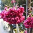 古木のソメイヨシノ桜と緋桜