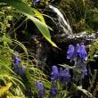 草紅葉の尾瀬にもう一度 エゾリンドウ と オクトリカブト