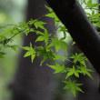 筑波山の四季の道はキツネノカミソリの乱れ咲き
