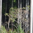 カラスザンショウに野鳥が