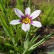 季節の花「庭石菖 (にわぜきしょう)」