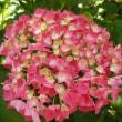 梅宮大社の花菖蒲と紫陽花