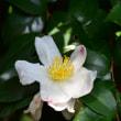 白いサザンカの花