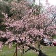 楽書き雑記「連日の雨。名古屋市農業センターのハクモクレンやシナミザクラは?」