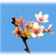 """秋から冬に咲く桜(^^♪花言葉は、""""純潔""""""""精神美"""" その花は「十月桜(じゅうがつざくら)」"""