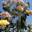 7月10日(火曜日)「薔薇」(てまりさん)