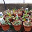 スミレの育て方4月 スミレの管理 花が咲かなかったスミレは50鉢