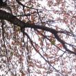 「ウコン桜紅葉」 いわき 三島八幡参道にて撮影! 病葉
