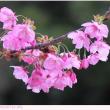 ヨウコウ〈陽光〉 桜