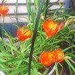 庭の花(苺、モミジバフウロ、羽衣ジャスミン、ヒルザキツキミソウ、ムラサキツユクサ、フリージア、ゼニアオイコバンソウ、ツルニチニチソウ)