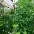 ミニ菜園と庭ミニ菜園 ~続