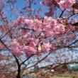 河津桜の咲く頃と(よしだ麺)