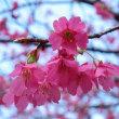 寒緋桜(蔵前神社)