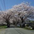 土浦第三高等学校の桜並木
