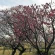 隅田公園。「梅めぐり散歩道」。