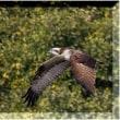 オスプレイ 蛋白石 誕生石 野鳥