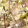 梅とメジロ(縮景園)