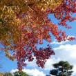 12月3日(日曜日)「紅葉」(てまりさん)