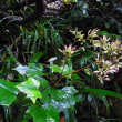 オオカニコウモリ:大蟹蝙蝠(面白い分布の形)