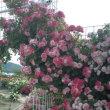 吉海バラ公園/バラ祭り