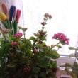 カランコエが咲きました