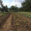 白菜苗の植え出し