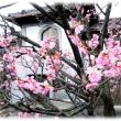 東風吹かば…(^^♪強い東風の吹く総持寺境内の淡いピンクの「梅の花」の香りに触れ…