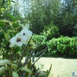 デンドロビュームも 開花です。