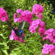 羽ばたくアゲハチョウ
