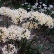 ヒガンバナは ちゃんとお彼岸に合わせて咲いていました。