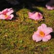 春の暖かさが椿の花を落とすかのように・・・。  (Photo No.14233)