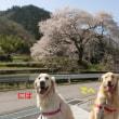 今度こそ桜