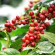 コーヒーの樹