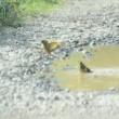 カワラヒワの水浴び…