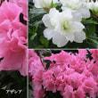 アザレアの花は
